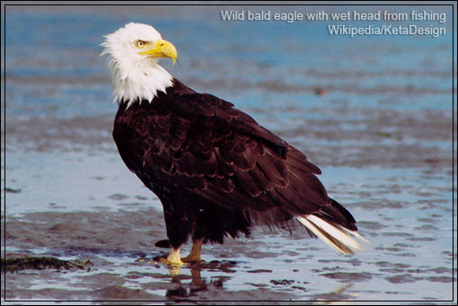 golden eagle fishing us government to allow killing of eagleswhere are the nations